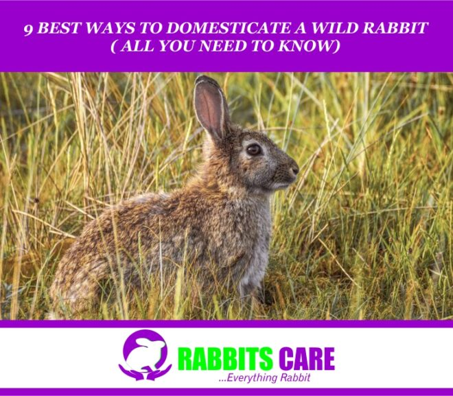 9 Best Ways To Domesticate A wild Rabbit ( All you need to Know)