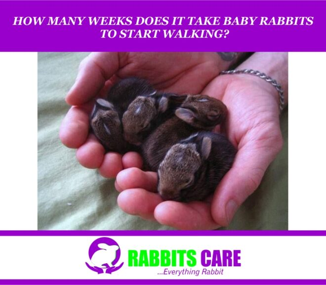 How Many Weeks Does It Take Baby rabbits To Start Walking?