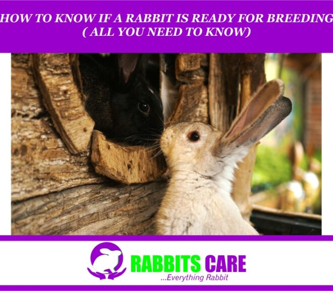 How to know If a Rabbit Is Ready For Breeding ( All you Need to know)