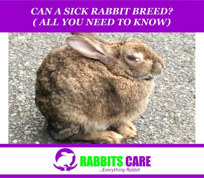 Can A Sick Rabbit Breed? ( All you Need to Know)