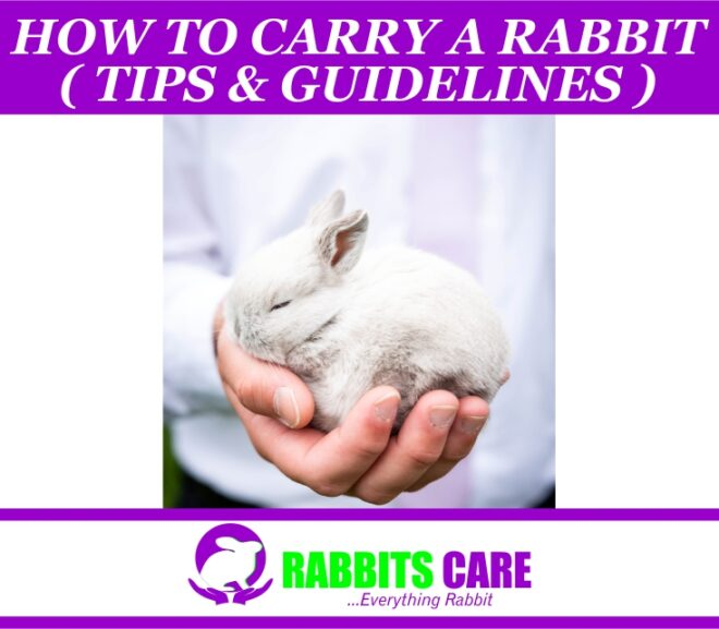How to Carry a Rabbit ( Tips  & Guidelines )