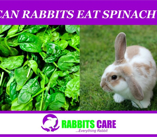 Can Rabbits Eat Spinach? | All you need to know|