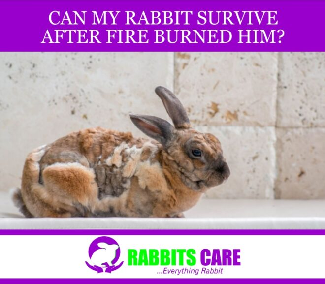 Can My Rabbit Survive After Fire Burned Him?