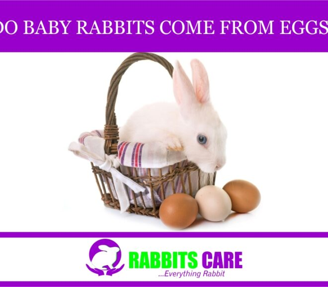 Do Baby Rabbits Come From Eggs?