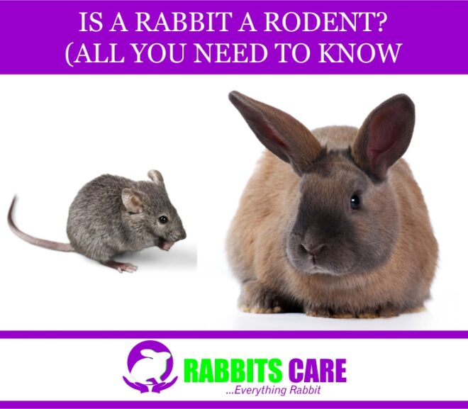 Is A rabbit a Rodent? (All you need to know)