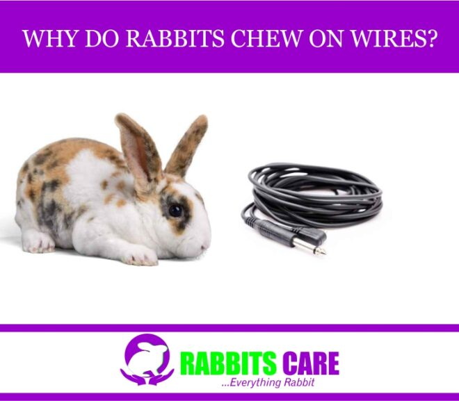 Why Do Rabbits Chew On Wires? All You Need to Know.