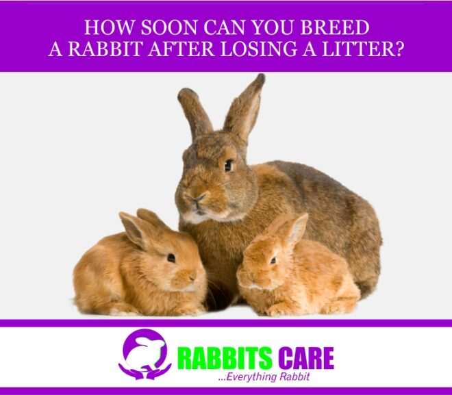 How Soon Can You Breed a Rabbit After Losing a Litter?