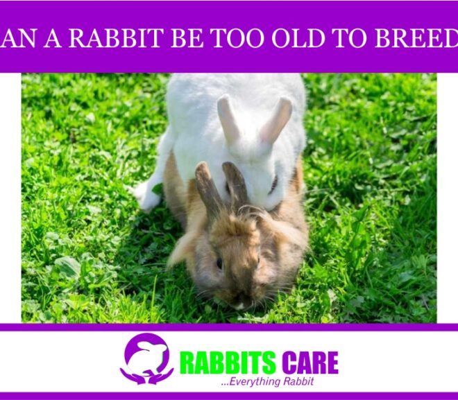 Can a rabbit be too old to breed?