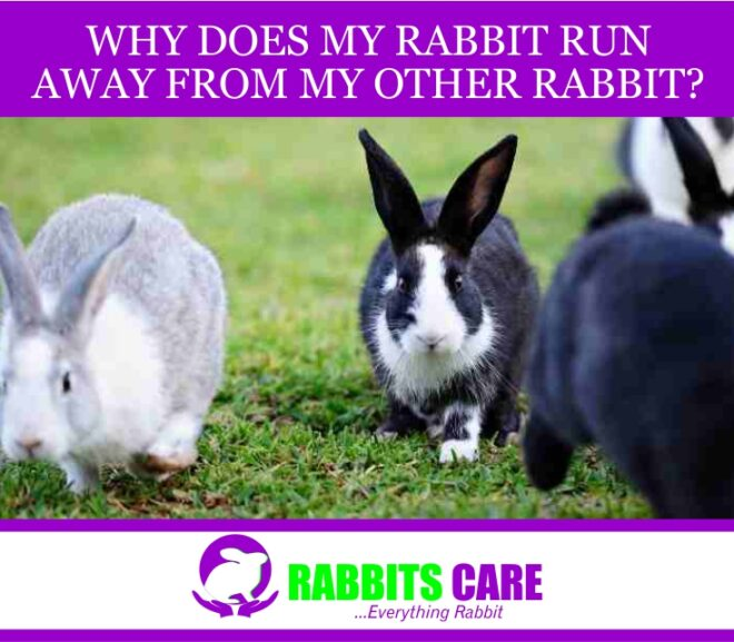 Why does my rabbit run away from my other rabbit?