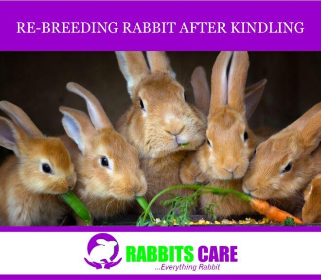 Rebreeding rabbits after kindling