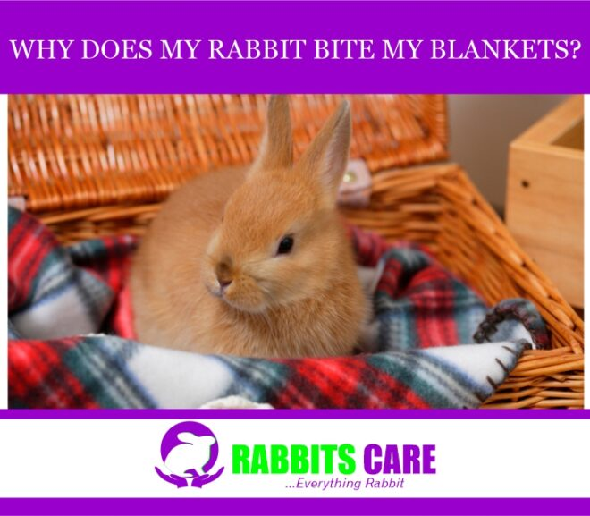 why does my rabbit bite my blankets